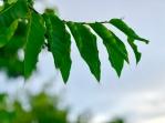 ylang ylang tree