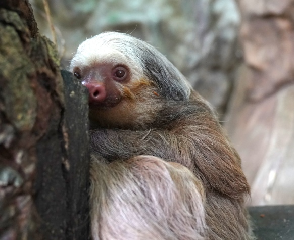 DSC04520 - peeking sloth