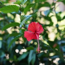 hibiscus flower 3