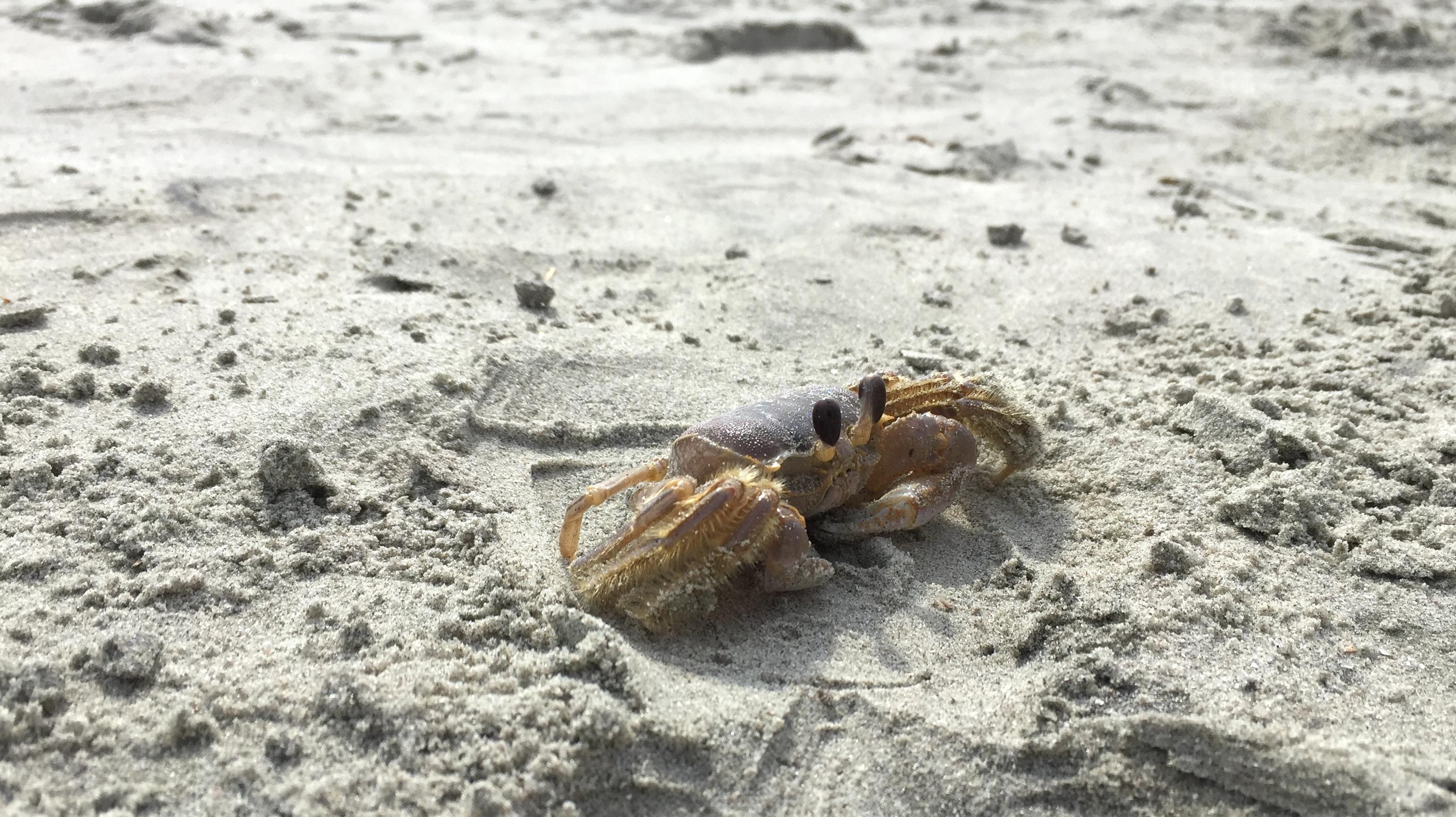 charleston crab on beach