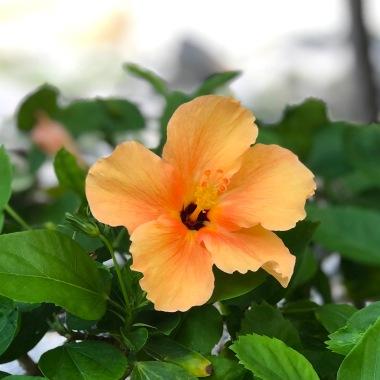 peach flower hibiscus